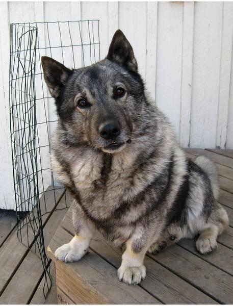 EPHS Honors Biology Blog Foley: Dog DNA mutation Golden Retriever Australian Shepherd Mix